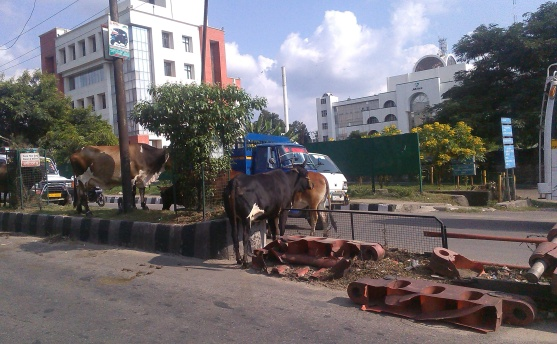 stray menace on city roads There seems to be no end in sight to the stray cattle menace in the holy city as they can be seen roaming around on the streets, disrupting traffic, leading to unpleasant accidents and creating problems for the residents as well as commutersthe continuing of the problem points a finger at the authorities who seem [.