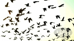 Thousands of avian visitors bid adieu to Kashmir Valley