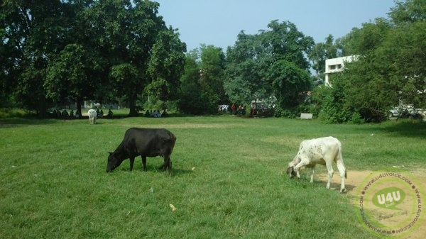 Cattle hindering college sphere (2)