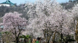 Beauty blossoms with blooming almond trees as Spring arrives in the valley