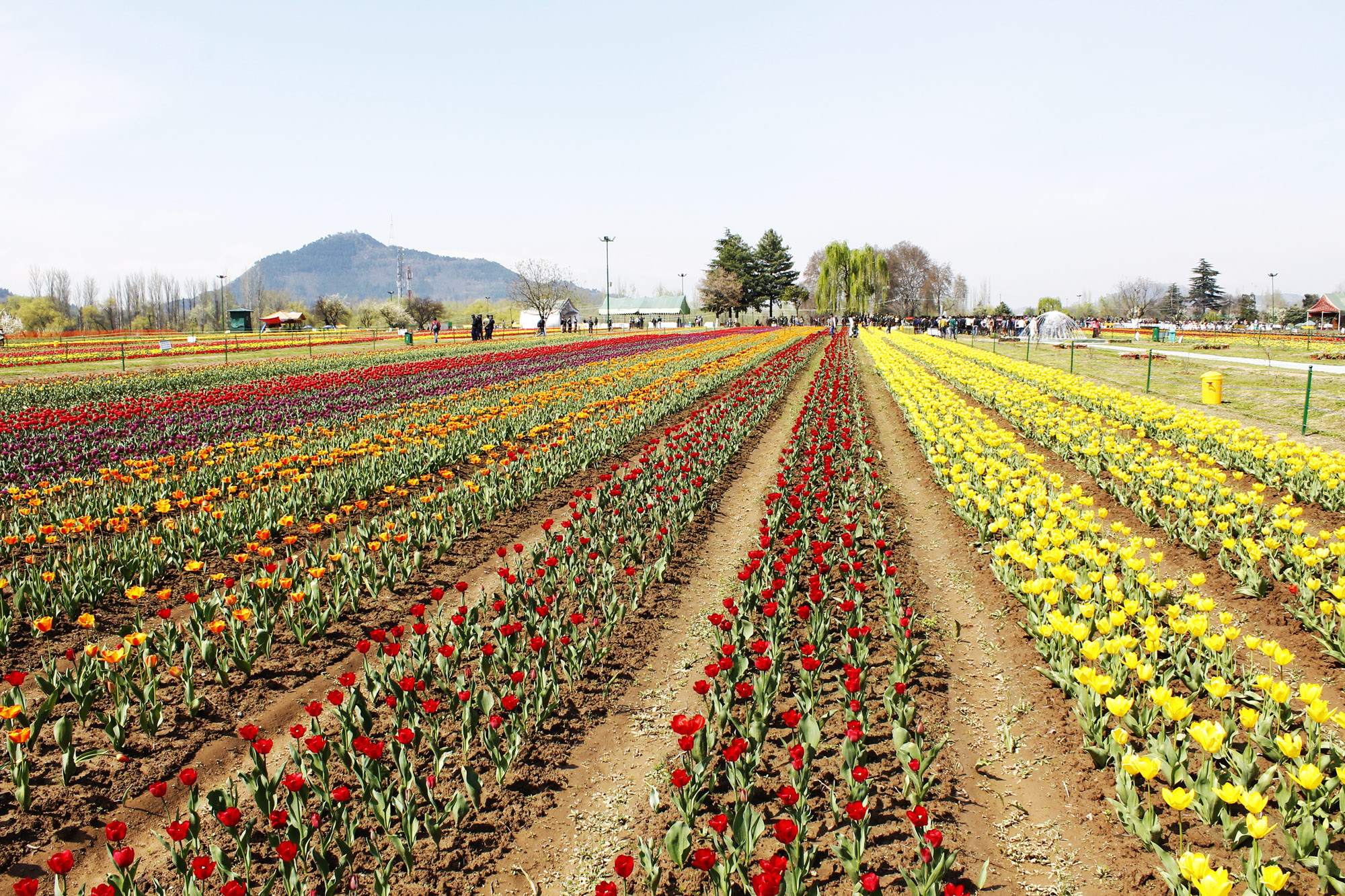 Paradise amid blooms: A glimpse of Tulip Garden in Kashmir – U4UVoice