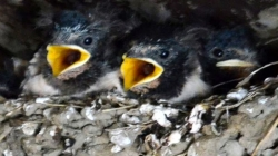 Young barn swallows wait to be fed in their nest
