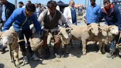 IN PICS ||Buyers thronged to get specially bred sheep and goats ahead of Eid in Kashmir