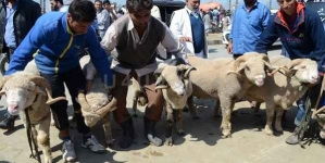 IN PICS   Buyers thronged to get specially bred sheep and goats ahead of Eid in Kashmir