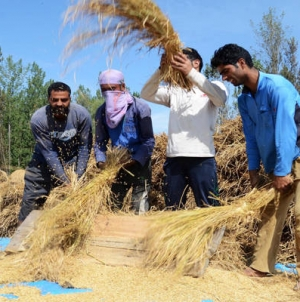 A sight not very common now: Villagers harvesting paddy in Srinagar