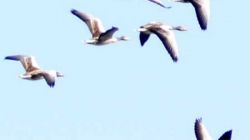 Migratory birds and their stint with Kashmir Valley