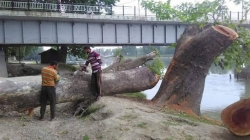 DC gives permission to cut down Chinar Trees. Lets hope Forest Dept knows this